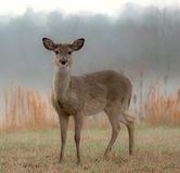 White-Tailed Deer on a Foggy Morning royalty free stock images