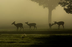White-tailed deer on foggy morning Royalty Free Stock Photo
