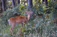 White-tailed deer in a forest Royalty Free Stock Photos