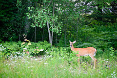 White-Tailed Deer in a Forest Stock Photo