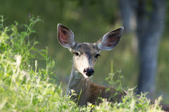White-tailed deer grazing in the bushes with ears perked up and. Catch light in her eye. (Odocoileus virginianus), Oregon, Cascade Siskiyou National Monument Stock Images