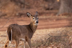 White-tailed Deer Grazing Near Woods. A White-tailed buck grazes near the woods Royalty Free Stock Photo