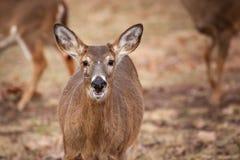 White-tailed Deer Grazing Near Woods Stock Image