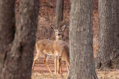 White-tailed Deer Grazing Near Woods. White-tailed deer graze near the edge of the woods Stock Photo