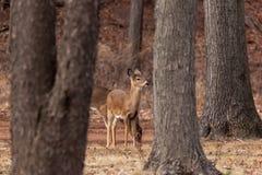 White-tailed Deer Grazing Near Woods Stock Photo
