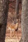 White-tailed Deer Grazing Near Woods Stock Photography