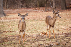 White-tailed Deer Grazing Near Woods. A young male and female White-tailed deer stand at the edge of the woods Royalty Free Stock Photography