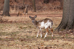 White-tailed Deer Grazing Near Woods. A young, male piebald White-tailed deer grazes near the edge of the woods Stock Images