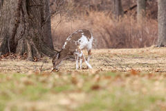 White-tailed Deer Grazing Near Woods. A young, male piebald White-tailed deer grazes near the edge of the woods Royalty Free Stock Images