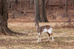 White-tailed Deer Grazing Near Woods. A young, male piebald White-tailed deer grazes near the edge of the woods Royalty Free Stock Photo