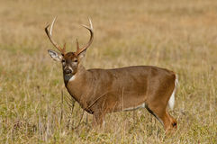 White Tailed Deer in Great Smoky Mountains. White tailed deer male in Cades cove Royalty Free Stock Photography