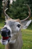 White tailed deer head. A closup shot of a white tailed deer eating an apple stock images
