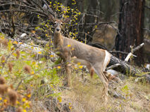 Free White Tailed Deer In State Park. Royalty Free Stock Images - 45182779