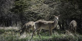 Watchful Doe with Companions. A white-tailed deer keeps watch while two others in the herd graze in a field Royalty Free Stock Photos