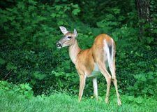 White Tailed Deer Looking Back. White Tailed deer in summer coat pausing to look back Stock Image