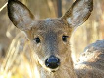 White Tailed Deer Looking Straight Ahead Portrait stock photos