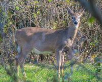 White-tailed deer in the Minnesota Valley National Wildlife Refuge near the Minnesota River stock photo