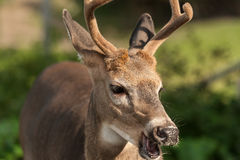 White-tailed deer with mouth open Royalty Free Stock Photos