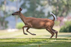 White-tailed deer in neighborhood leaping. And running Stock Images