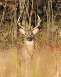 White-tailed Deer Royalty Free Stock Photo