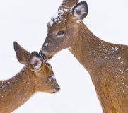 White Tailed Deer odocoileus Virginians licking off snow on her fawn. White tailed deer doe licking snow off her fawn in winter time during a snow fall stock image