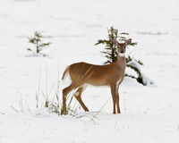 White-tailed deer, odocoileus virginianus. In the snow, Banff National Park, Alberta, Canada Royalty Free Stock Photo