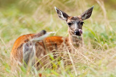 White-tailed Deer (Odocoileus virginianus) Royalty Free Stock Photo
