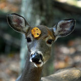 White-tailed deer (Odocoileus virginianus) Stock Image