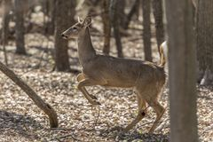 White-tailed deer Odocoileus virginianus. The white-tailed deer Odocoileus virginianus, also known as the whitetail or Virginia deer, is a medium-sized deer Stock Photo