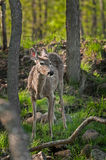 White-Tailed Deer (Odocoileus virginianus) In Amongst Forest Stock Photos