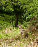 White-tailed deer Odocoileus virginianus. Bolderwood is situated in the heart of the New Forest along the Ornamental Drive. Here you have a car park which is Royalty Free Stock Photos