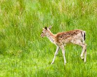 White-tailed deer Odocoileus virginianus. Bolderwood is situated in the heart of the New Forest along the Ornamental Drive. Here you have a car park which is Stock Image