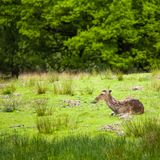 White-tailed deer Odocoileus virginianus. Bolderwood is situated in the heart of the New Forest along the Ornamental Drive. Here you have a car park which is Royalty Free Stock Image