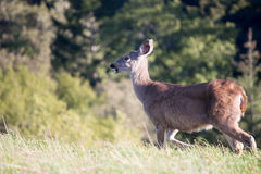 White Tailed Deer Royalty Free Stock Photo