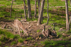White-Tailed Deer (Odocoileus virginianus) and Canada Goose (Branta canadensis) Family. Captive animal royalty free stock photo