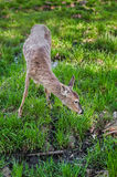 White-Tailed Deer (Odocoileus virginianus) Stock Photo