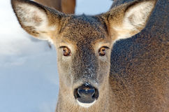 White-tailed deer odocoileus virginianus Royalty Free Stock Photos
