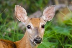 White-tailed deer (Odocoileus virginianus) Stock Photo