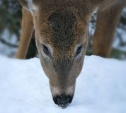 White-tailed Deer - Odocoileus virginianus, closeup portrait of a young doe. stock images