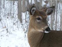 White-tailed Deer - Odocoileus virginianus, closeup portrait of a young doe royalty free stock photo