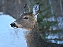 White-tailed Deer - Odocoileus virginianus, closeup portrait of a young doe royalty free stock photography