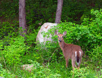 White-tailed Deer. (Odocoileus virginianus) eating a dandelion Stock Photo