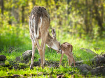 White-Tailed Deer (Odocoileus virginianus) Fawn Bathtime. Captive animals Royalty Free Stock Photo