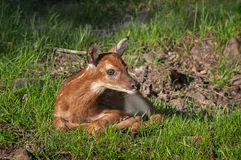 White-Tailed Deer (Odocoileus virginianus) Fawn Royalty Free Stock Image