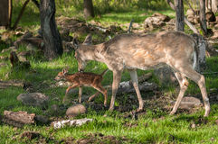 White-Tailed Deer (Odocoileus virginianus) and Fawn Royalty Free Stock Images
