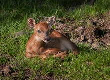 White-Tailed Deer (Odocoileus virginianus) Fawn in Grasses Royalty Free Stock Photography