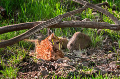 White-Tailed Deer (Odocoileus virginianus) Fawn Hides. Captive animal Royalty Free Stock Photos