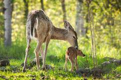 White-Tailed Deer (Odocoileus virginianus) Fawn Resists Bath Royalty Free Stock Photography