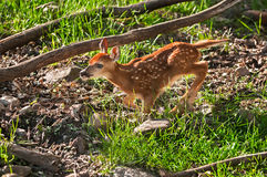 White-Tailed Deer (Odocoileus virginianus) Fawn Runs Left Royalty Free Stock Photo