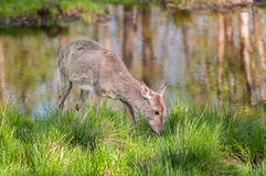 White-Tailed Deer (Odocoileus virginianus) Feeds Alongside Pond Royalty Free Stock Image